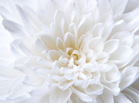 Цветок нежного белесого оттенка