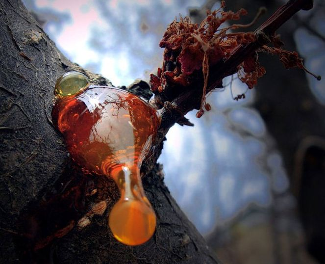 Процесс выделения смолы из ствола хвойных деревьев