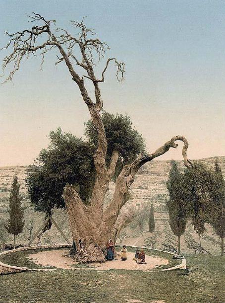 Мамврийский дуб. Фото сделано в конце XIX века.