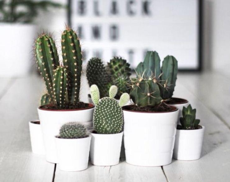 Темно - зеленые кактусы в белых горшках