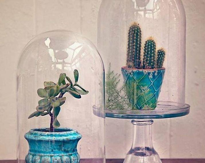 Кактусы под стеклянными колбами - парниками
