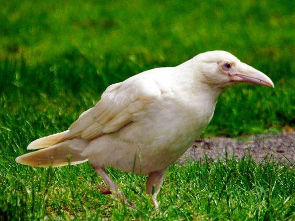 """"""" Белой вороной"""" называют человека, отличающегося от других"""