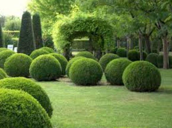 Самшит - вечнозеленое растение