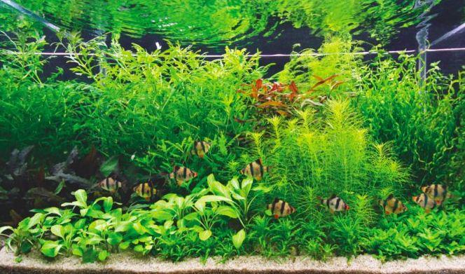 Обилие растений в аквариуме в коллекторской стилистике
