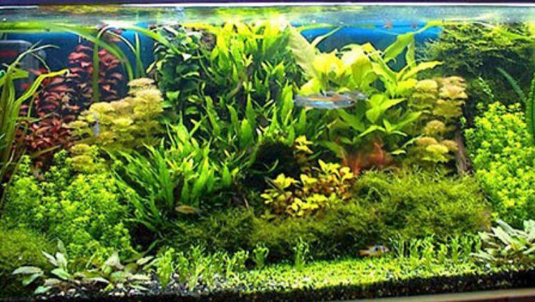 Растения в голландском аквариуме размещаются живописными группами.