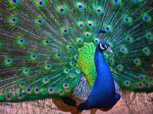 Окраска перьев павлина