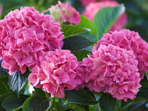 Цветы гортензии садовой