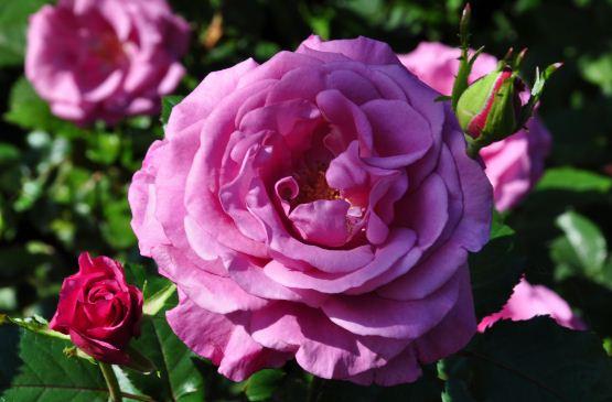 Цвет парнасской розы
