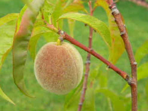 Цвет недозрелого персика