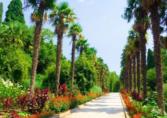 Пальмовая аллея в Никитском ботаническом саду.