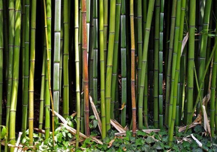 Бамбуковые заросли в Ялтинском ботаническом саду.