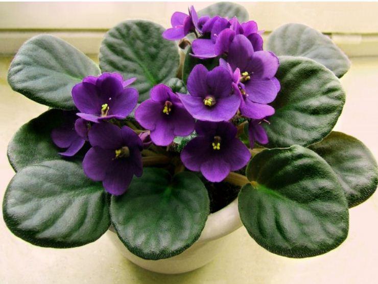 Сенполия - комнатная фиалка с фиолетовыми цветами.