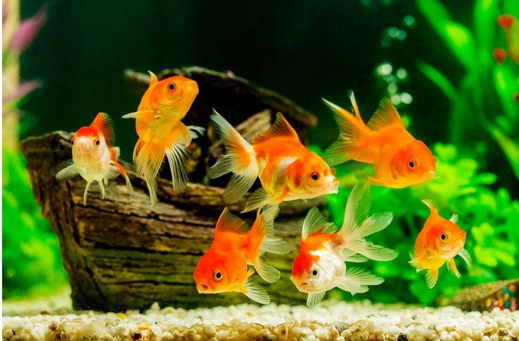 Аквариум с золотыми рыбками.