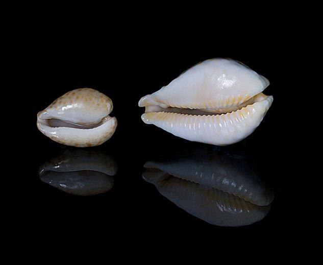 Раковина Ципреи Фултона ( слева) - самая дорогая раковина в мире.